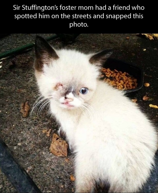 kitten pirate cats cute heartwarming cat kittens aww adorable animals | Sir Stuffington's foster mom had friend who spotted him on streets and snapped this photo white kitten with dark ears and tail missing one eye