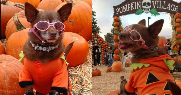 costume dogs twitter pumpkins halloween photoshoot chihuahua
