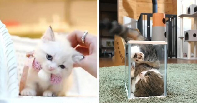 cats gifs aww funny cat lol animals cute cuteness adorable kitten kittens | very cute and tiny white kitten leaning into the hand petting it. cat squeezing itself into a square glass box.