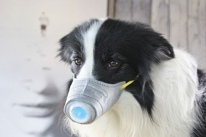 Chinese Pet Owners Buy Face Masks For Their Dogs | back and white fluffy dog wearing a special mask shaped like a snout with a filter at the tip to protect from the coronavirus spread