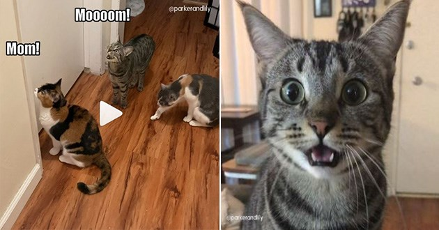 cat cats instagram funny lol animals vids video videos cute aww | three cats sitting outside a closed door meowing loudly for mom. a grey cat looking at the camera with big wide eyes and mouth hanging open