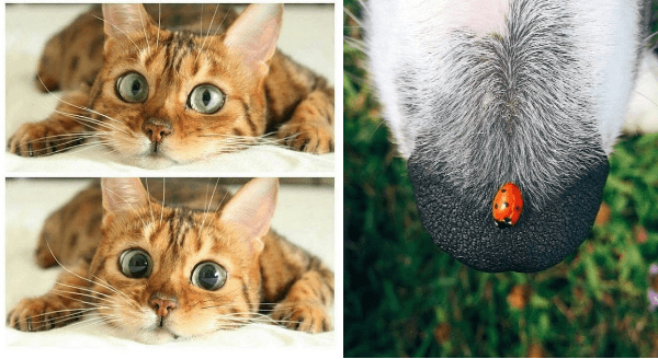 Amazing animal photos | cute striped cat lying on its belly, in the top pic its eyes appear normal and in the bottom pic its pupils are very dilated. closeup photo of a dog's nose/snout with a ladybug sitting on it.