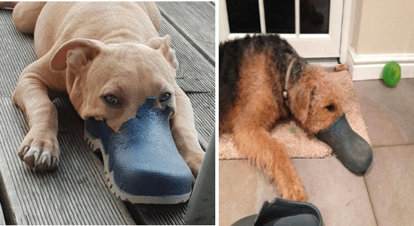 Platypup is the new viral dog breed | pics of cute dogs lying down with their faces stuffed inside chewed up rubber boots making them look as if they have bills instead of snouts