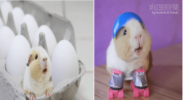 Fuzzberta Peekachu Jones Is Definitely The Cutest Guinea Pig On Instagram | cute guinea pig in an egg carton and and same guinea pig wearing a tiny helmet and skates