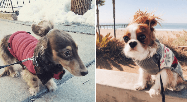 Hipster Dogs With Buns | cute dachshund wiener dog wearing a red coat and with its ears tied back in a bun. Cute cavalier king Charles dog in a sweater and its ears tied up in a bun