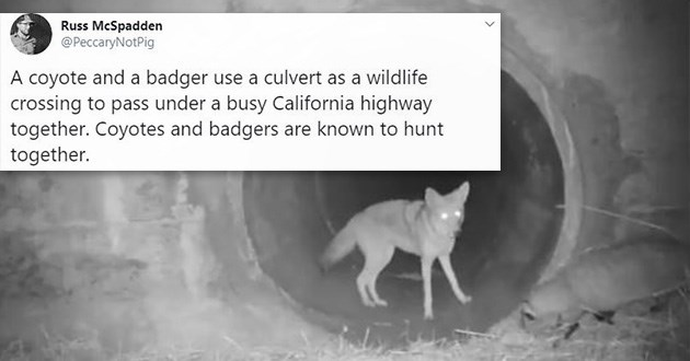 tweets twitter coyotes badgers thread friendship partnership partners hunting together friends interesting cool animals | night vision camera coyote in a large pipe A coyote Russ McSpadden @PeccaryNotPig A coyote and a badger use a culvert as a wildlife crossing to pass under a busy California highway together. Coyotes and badgers are known to hunt together.