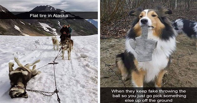 funny doggo dog memes dump snaps snapchat animals cute lol | sled dog lying on its back: Flat tire Alaska. dog holding a glove by the middle finger: they keep fake throwing ball so just go pick something else up off ground