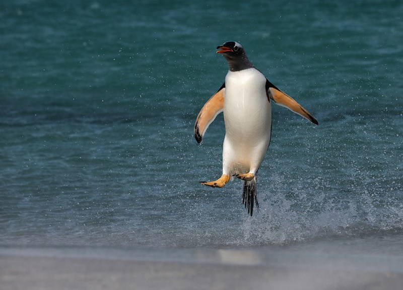 Bird Photographer of The Year contest | funny penguin jumping upright out of the water Gantoo penguin rashes ashore photo by Liz Cutting