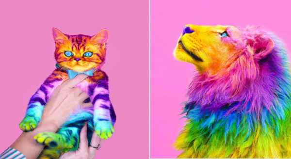 Photos of Animals after Rainbow Makeover | graphic design photo editing cute kitten wearing a bow tie held up in a person's hands, majestic lion looking up, both photos are painted in vibrant rainbow colors