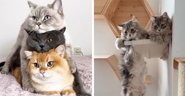 cats cat funny instagram video videos aww cute adorable lol animals | three cute cats in grey black and orange stacked on top of each other. two fluffy grey cats hanging from a shelf.