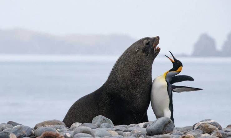 Amazing animal photos | funny pic a penguin and a seal standing chest to chest on a rocky beach as if they're fighting or about to fight come at me bro