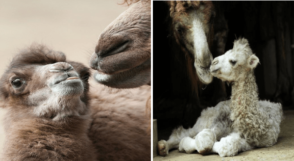 baby camels photos | cute baby camel sticking its tongue out mlem toward his mama, another baby camel sitting down and touching rubbing noses with his mom