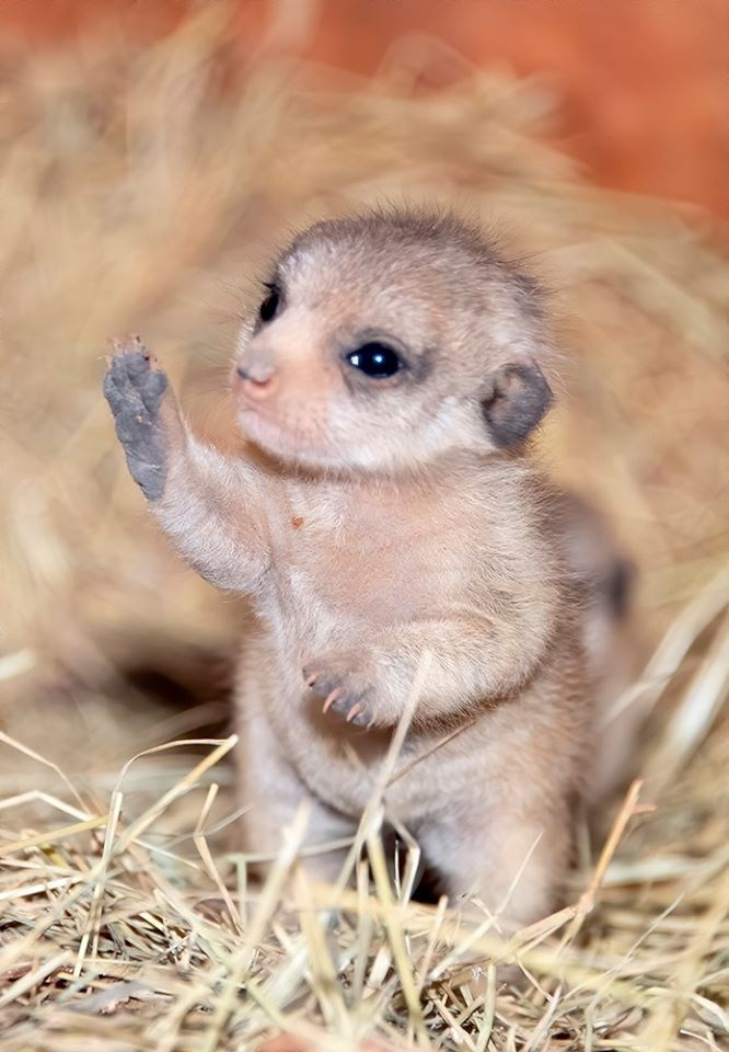 meerkats meerkat baby animals aww cute pups adorable zoo miami | tiny baby meerkat with fuzzy fur and shiny black eyes standing in straws on its back legs and raising a little paw in the air