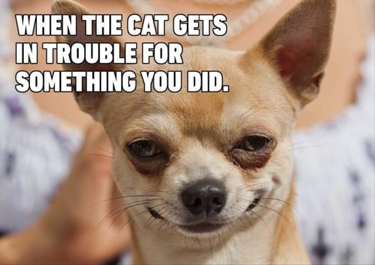 funny doggo dog memes animals dogs cute lol | funny chihuahua dog smirking wickedly evil mischievous expression CAT GETS TROUBLE SOMETHING DID.