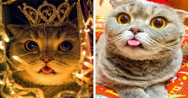 scottish fold blep cats cat aww cute adorable instagram videos pics vids animals | cute cat with grey fur and big orange eyes and a tongue that's permanently sticking out wearing a crown and surrounded by fairy lights