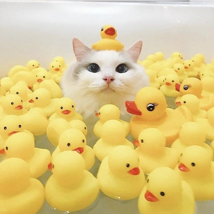 cats bath time cute aww adorable funny clean cat kitty kitties | cute kitty cat with fluffy white fur and big round blue eyes sitting in a full bathtub surrounded by yellow rubber ducks including one balanced on top of the cat's head