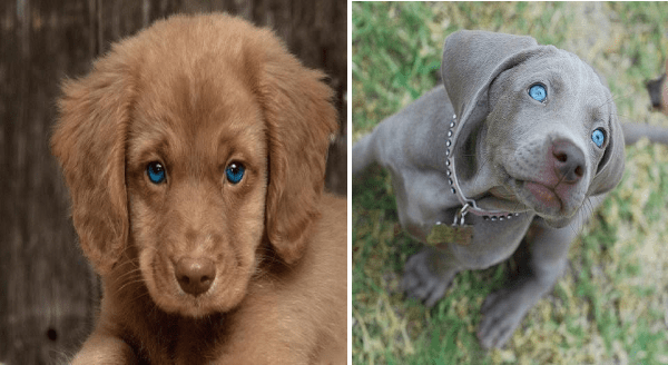 Photos of dogs With Mesmerizing Blue Eyes | adorable brown puppy with a pink nose with ocean blue deep eyes. cute beautiful puppy with a light nose and very bright blue eyes and a studded collar