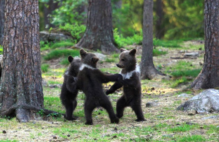 photos of three brown black bear cubs standing upright on their back legs together in a circle playing dancing in a forest finland wildlife cute whimsical interesting unusual sight magical moment looking like children