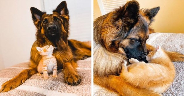 cat dogs instagram cute pixie brutus german shepard kitten adorable cute friendship love animals | tiny orange ginger kitten sitting between the paws of a large scruffy german shepherd and looking up at it, same kitten curled up around the dog's snout between its front legs
