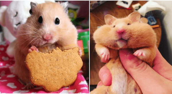 Hamsters Who Have Stuffed Their Cheeks Way Too Much | cute tiny rodent hamster pet holding up a half eaten biscuit and its cheeks stuffed full, another chubby chonky hamster with huge round cheeks held in a person's hand