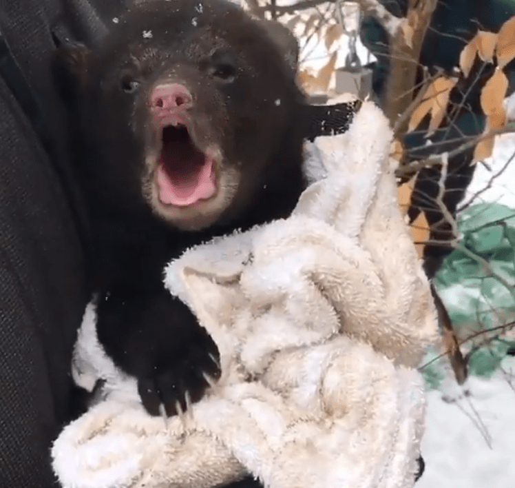 Great wildlife videos | black bear cub baby picked up yawning opening its mouth wrapped up in a white fluffy fuzzy blanket pink nose cute animals interesting fascinating nature