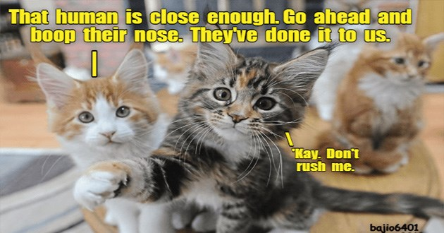 lolcats cats funny memes cat cute lol aww | human is close enough. Go ahead and boop their nose. They've done us. Kay. Don't rush bajio6401 august 2019 two cute small kittens looking at the viewer, the one at the front lifting a paw as if its about to hit the camera, another kitten sits in the background