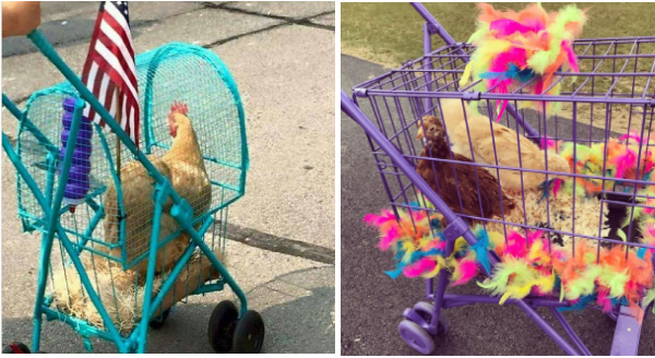 funny photos of chickens going for walk in strollers | chicken in a blue cage made into a stroller with a us flag hanging from it. two chickens in a purple pen coop with wheels and decorated with colorful feathers hen birds pet owners funny