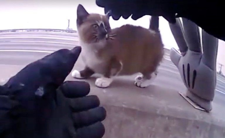 officer rescue cat highway kitten cats forever home animals aww | small cute kitten with white paws standing on a road divider wall next to a mickey mouse glove and a gloved human hand belonging to a police officer reaching for it