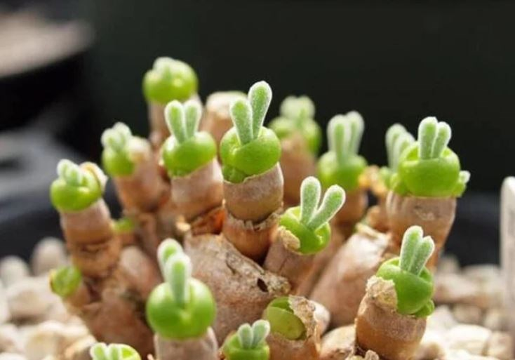 bunny ears succulent plants rare aww bunnies cute adorable animals | small beautiful sparsely branched shrub soft cylindrical soil colored barrel shaped sheath with a round green head growing out of it with two nubs on top that look like ears