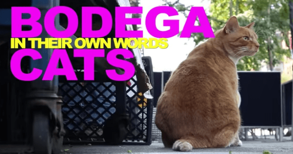 series new york Cats Video bodega - 1066245