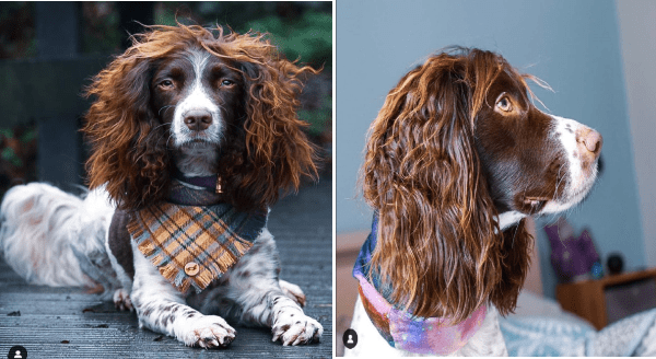 Dog with great hair | photos from two different angles of a spaniel dog wearing a tartan bandanna around its neck brown and white with long auburn curly fur on his ears that looks like an afro hairstyle