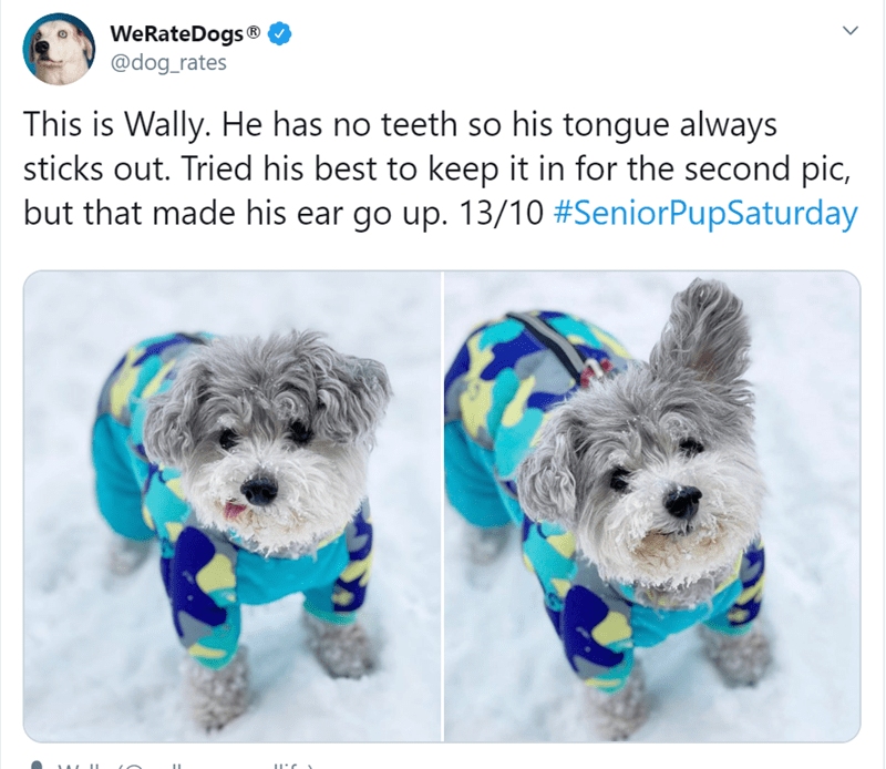 funny animal tweets | WeRateDogs dog_rates This is Wally. He has no teeth so his tongue always sticks out. Tried his best keep second pic, but made his ear go up. 13/10 #SeniorPupSaturday