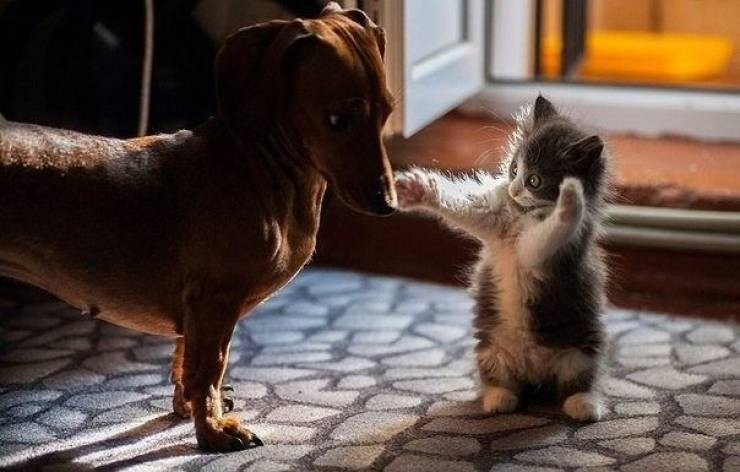 Amazing animal photos | cute funny photo of a small kitten standing on its back legs wide eyed reaching for the face of a small dachshund dog looking at it suspiciously
