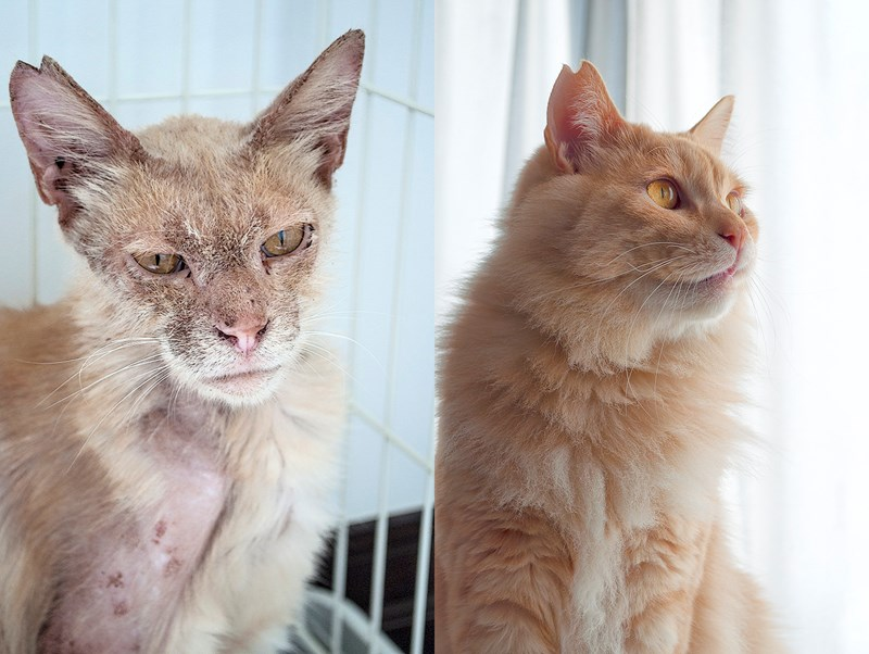 cats transformation rescue beautiful lion love cat animals aww | before and after photos of an orange cat with yellow eyes looking malnourished and with sparse fur and then with fluffy clean fur