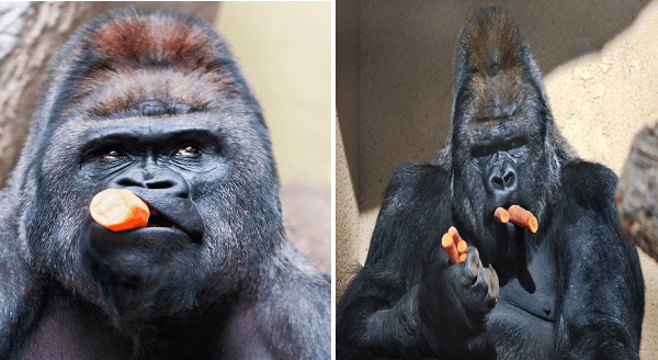Apes eating carrots | cute funny pic of a gorilla black dark fur with a stump of carrot hanging from the side of its mouth looking like a cigar | gorillas holding two carrots in its mouth while carrying several more in its hands human like expressions primates