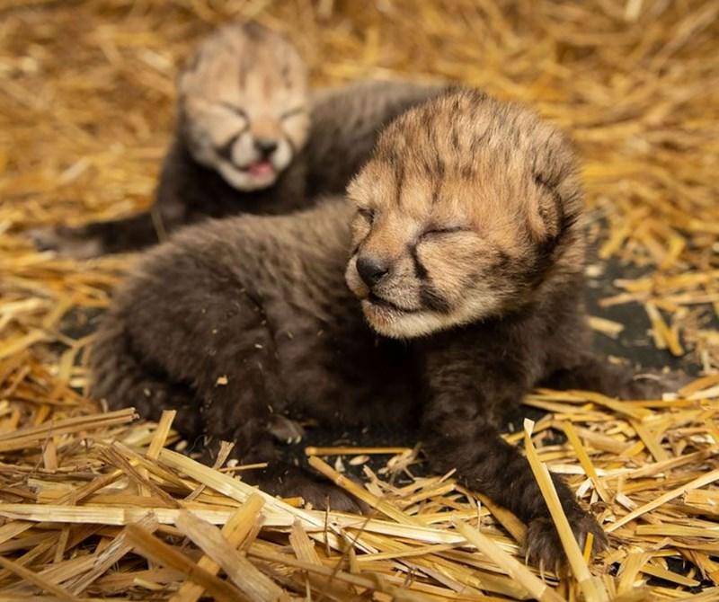 cheetah cubs history surrogate science animals amazing ivf in vitro fertilization test tube baby | two baby kittens cheetah cubs tiny spots newborn with their eyes still closed dark fur fuzzy fluffy sitting in straws