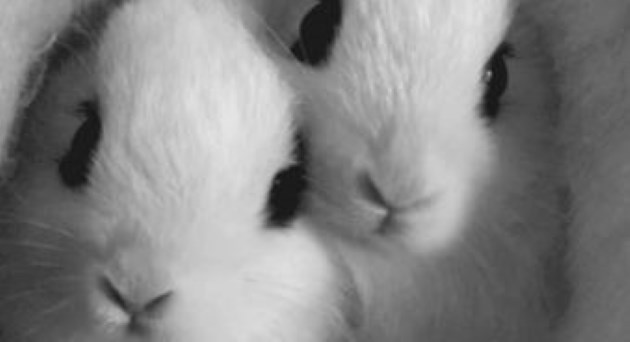 bunny bunnies gifs cute animals adorable rabbits aww | closeup zoom in on the faces of two fuzzy fluffy white rabbits bunnies with big black eyes squeezed together wrapped up in a white fabric