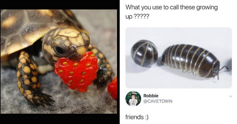 Funny and cute memes that are wholesome and positive | turtle tortoise eating a heart shaped piece of strawberry | tweet by funk funkemcfly use call these growing up Robbie @CAVETOWN friends