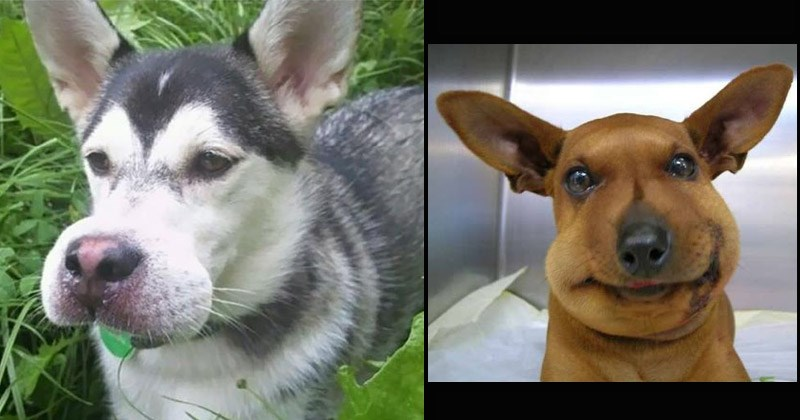 Cute, sad, and funny pictures of dogs who got stung by bees | adorable husky dog in the grass with a swollen snout muzzle pink nose | cute brown dog with long pointed ears and a very round and puffy face poor babies aww