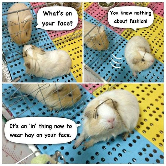 Two Adorable Guinea Pigs Chatting About Their Daily Lives | 's on know nothing about fashion face s an thing now wear hay on face. fuzzy fluffy guinea pig with a piece of straw on its head colorful floor bars cage rodents pets cute