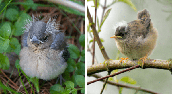 Birds That Look Like Bernie Sanders | cute little round grey birds with a white belly and white fuzz feathers coming out from the sides of their heads like tufts of hair