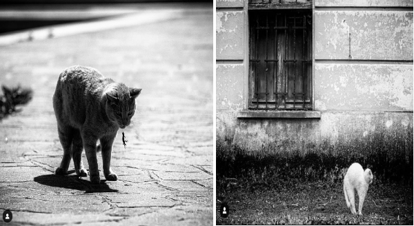 Photographer Captures Cats In Unusual Positions | black and white cat standing on pavement and dropping a tiny lizard gecko from its mouth | monochrome b&w photograph of a white cat arching its back