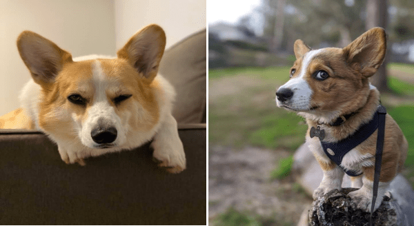 """Disapproving Corgis"" Is a Facebook Group Filled With Photos Of Opinionated Corgis 