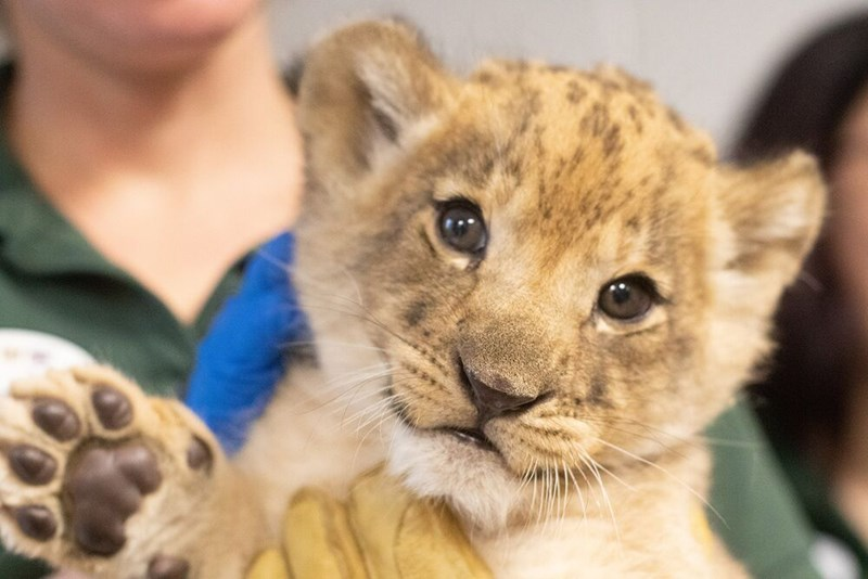lion cubs smile smiling animals cute aww | baby big cats large mammals getting medical tests vest examinations and passing them successfully