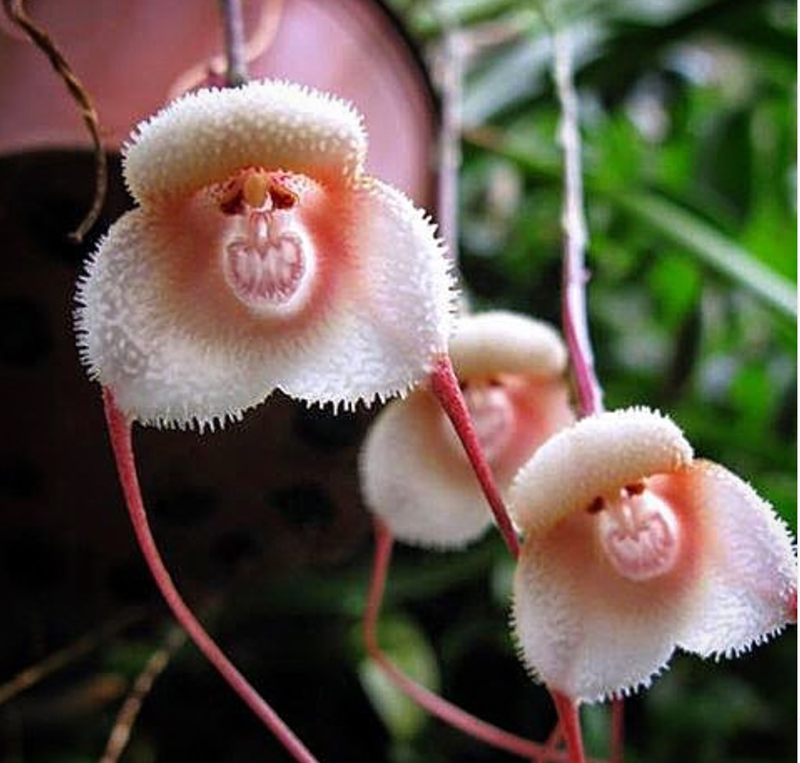 Orchid That Look Like Monkey Faces | three flowers petals pink white orange that resemble monkey faces with their teeth bared