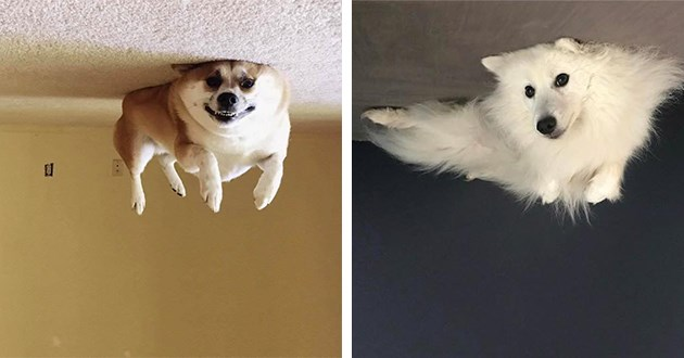dogs doggo balloons funny animals lol aww cute | silly amusing pics of dogs lying on the floor turned upside down so that it looks like the dogs are floating near the ceiling | fluffy white dog and a smiling shiba inu