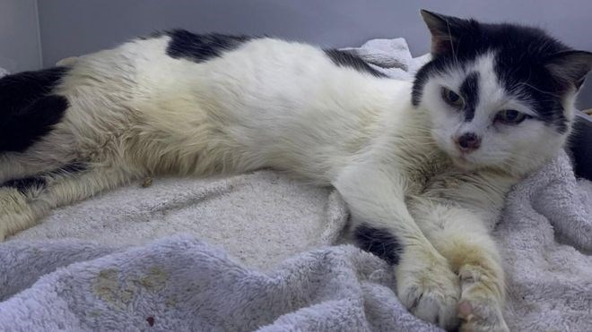 reunited cats aww animals lost found story love | older cat black and white fur after 11 years living on the streets as a stray lying on a fuzzy blue blanket reunited with owner
