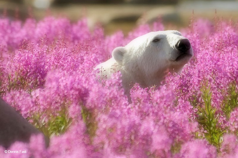 polar bears firewood photography art animals pink flowers meadow aww beautiful images dennis fast | head of a white polar bear peeking from between a field of pink purple flowers blooming spring time nature beautiful
