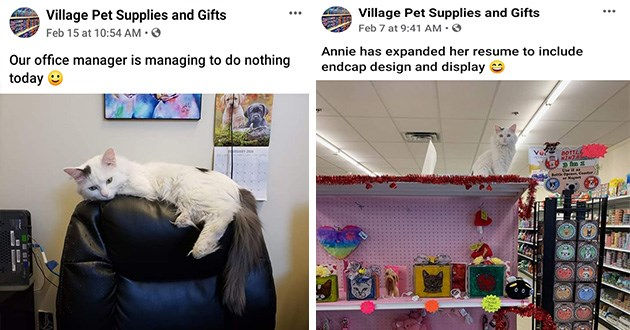 cats employees jobs funny animals cute pet store supplies aww | Village Pet Supplies and Gifts Our office manager is managing do nothing today pic of white cat with black tail lying on the back of a chair | Annie has expanded her resume include endcap design and display Use as Bottle Opener