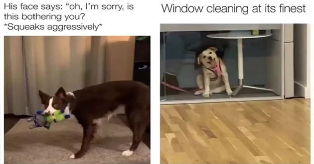 dogs doggo gifs animals funny cute aww | His face says oh sorry, is this bothering Squeaks aggressively brown dog holding a toy in its mouth | Window cleaning at its finest cute dog in a pink harness sitting under a desk